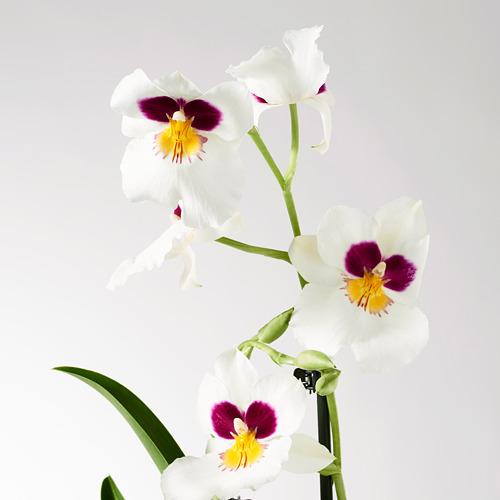 PHALAENOPSIS vazoninis augalas
