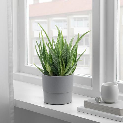 ALOE VERA vazoninis augalas